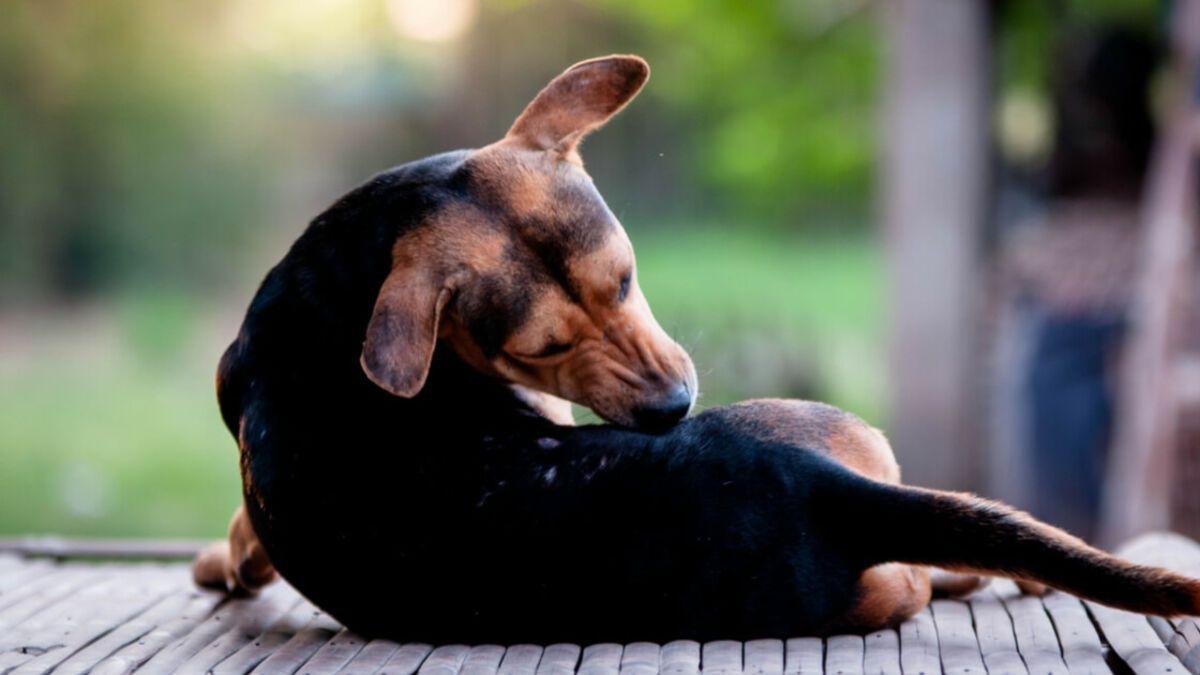 Podstawowe wiadomości o odpchlaniu psów i kotów.